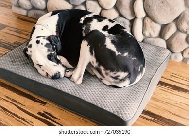 Sleeping harlequin great dane dog curled up on his bed over bamboo hardwood floors next to the river rock fireplace.