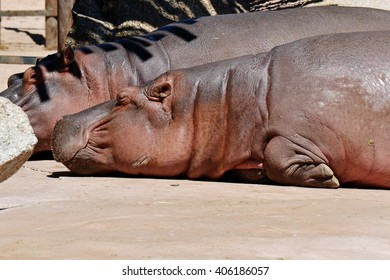 a sleeping hippo with massive body laying in the sun