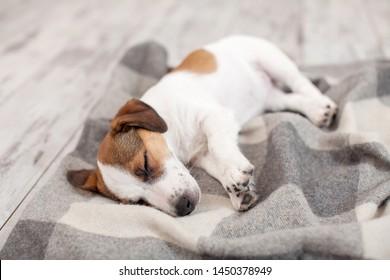 Sleeping at home. Puppy sleep on blanket