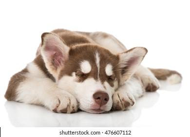 Sleeping husky puppy isolated on white