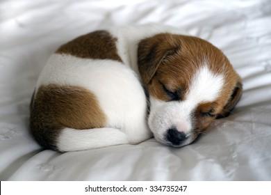 sleeping jack russell puppy