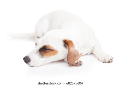 Sleeping Jack Russell terrier on isolated white