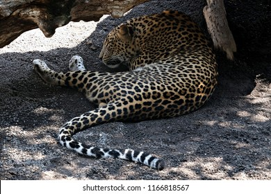 a sleeping jaguar
