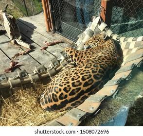 Sleeping jaguar after eating breakfast
