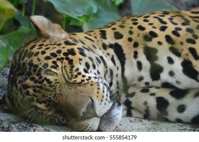 A sleeping Jaguar in the Amazon rain forest. Iquitos, Peru