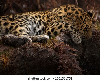 Sleeping Jaguar at the Hogle Zoo