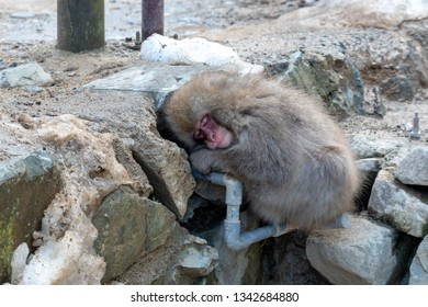 A sleeping Japanese macaque
