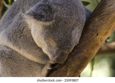 Sleeping Koala Bear Up Close