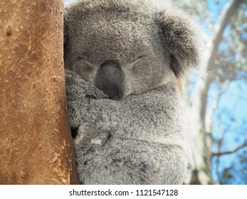 Sleeping Koala on the eucalyptus tree. Australian Marsupial. Fluffy grey bear. Adorable wildlife. Australia's fauna.