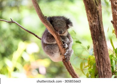 Sleeping koala on eucalyptus tree, sunlight. Koala Bear in zoo. Koala relaxing in a tree, Australia.
