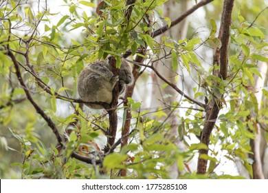 Sleeping koala in the tree.