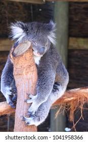 Sleeping koala in wild life park