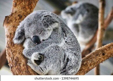 64033f704 Is Koala Sleeping Images, Stock Photos & Vectors | Shutterstock