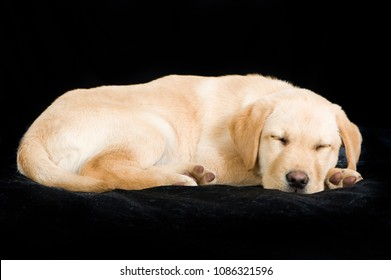 Sleeping labrador puppy on black background