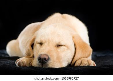 Sleeping labrador retriever puppy on black background