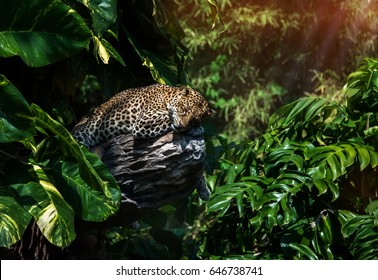 A sleeping leopard in a tree in the green tropical forest on a Sunny day.