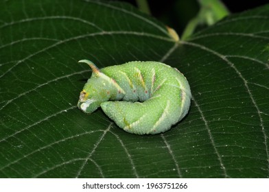 """It is a sleeping lime hawk moth(Mimas tiliae)caterpillar.It rests on a largeleaf linden or large-leaved lime(Tilia platyphyllos)leaf.Many of hawk moths caterpillars known as """"hornworms"""