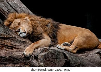 A sleeping lion