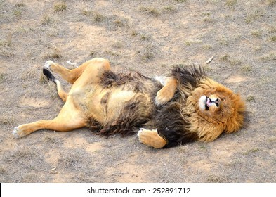 Animated pictures of lion sleeping