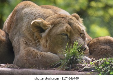 Sleeping lion, lioness closeup, face and paws