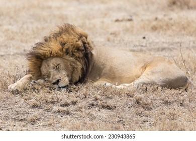 Sleeping lion, Ngorongoro, Tanzania