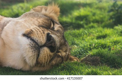 Sleeping lion (Panthera leo) in Al Ain zoo. Al Ain, United Arab Emirates - 08/MAR/2014