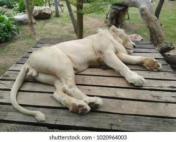 Sleeping Lion with very close up shot