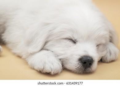 Sleeping little Maltese puppy with orange background