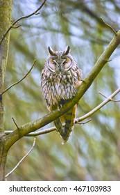 Sleeping Long-eared Owl (Asio otus) is sitting on tree branch / Knoops Park, Germany
