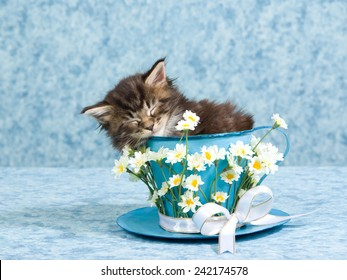 Sleeping Maine Coon kitten sitting inside blue cup and saucer decorated with white daisy flowers and ribbons bows on light blue background