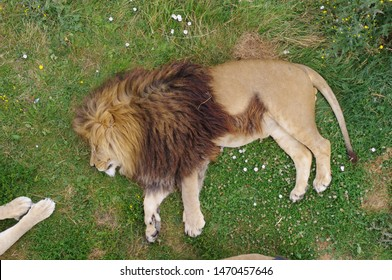 Sleeping male lion on grass