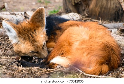 sleeping maned wolf