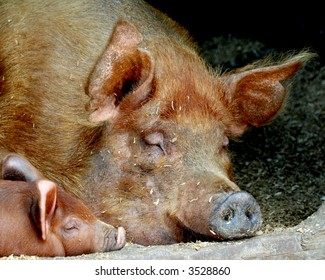 Sleeping Mom and Baby Pig