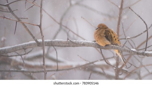 A sleeping mourning dove in Winter.