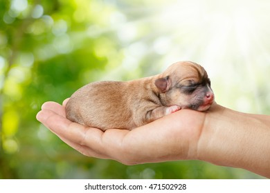 Sleeping newborn Chihuahua puppies  in the caring hands on green blurred background