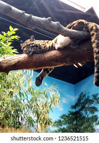 Sleeping on a branch clouded leopard
