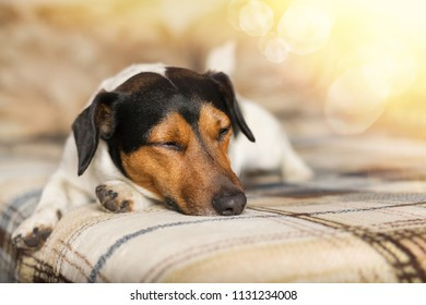 Sleeping on the couch, the dog with closed eyes. Jack Russell Terrier.