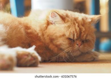 Sleeping orange cat blur face