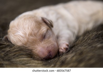 Sleeping peacefully cream white colored newborn puppy.