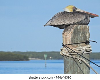 sleeping pelican on a pole