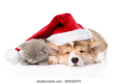 sleeping Pembroke Welsh Corgi puppy and kitten with santa hat. isolated on white background