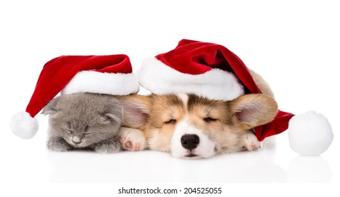 sleeping Pembroke Welsh Corgi puppy and kitten with red santa hat. isolated on white background