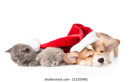 sleeping Pembroke Welsh Corgi puppy dog with santa hat and two kittens together. isolated on white background