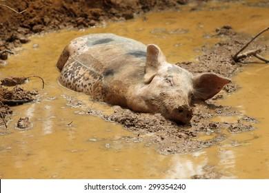 Sleeping Pig in the mud