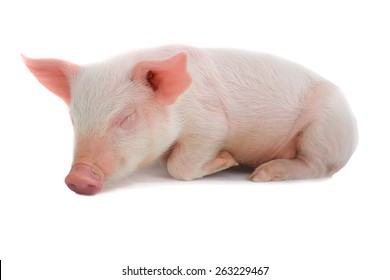 sleeping pig on a white background. studio