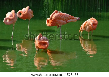 Sleeping pink flamingos
