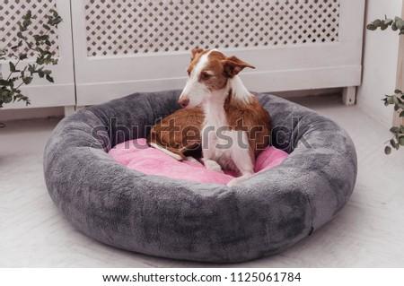 Sleeping Podenco Ibicenco Stock Photo Edit Now 1125061784