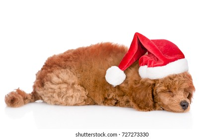 Sleeping poodle puppy in red christmas hat lying in side view. isolated on white background