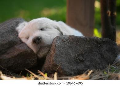 sleeping puppy of golden retriever