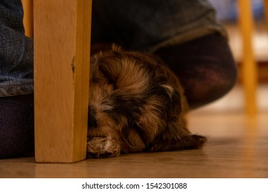 Sleeping puppy on the floor at home by a chair with the owners feet by her head.  Content and happy cockapoo puppy. Young puppy loving her owner and settling into a new home.